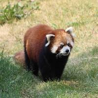 吃奶糖的小浣熊 - 橙光