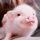 嗅嗅猪 - 橙光